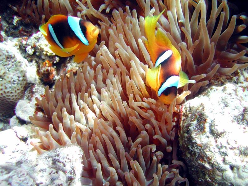 Findet Nemo in Ras umm Sid